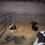 calf_plastic_slats_7