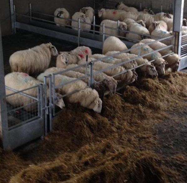 sheep_feed_barriers_1