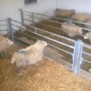 sheep_feed_barriers_2