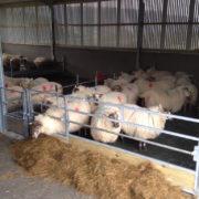 sheep_feed_barriers_3