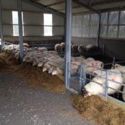 sheep_feed_barriers_4