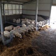 sheep_feed_barriers_5